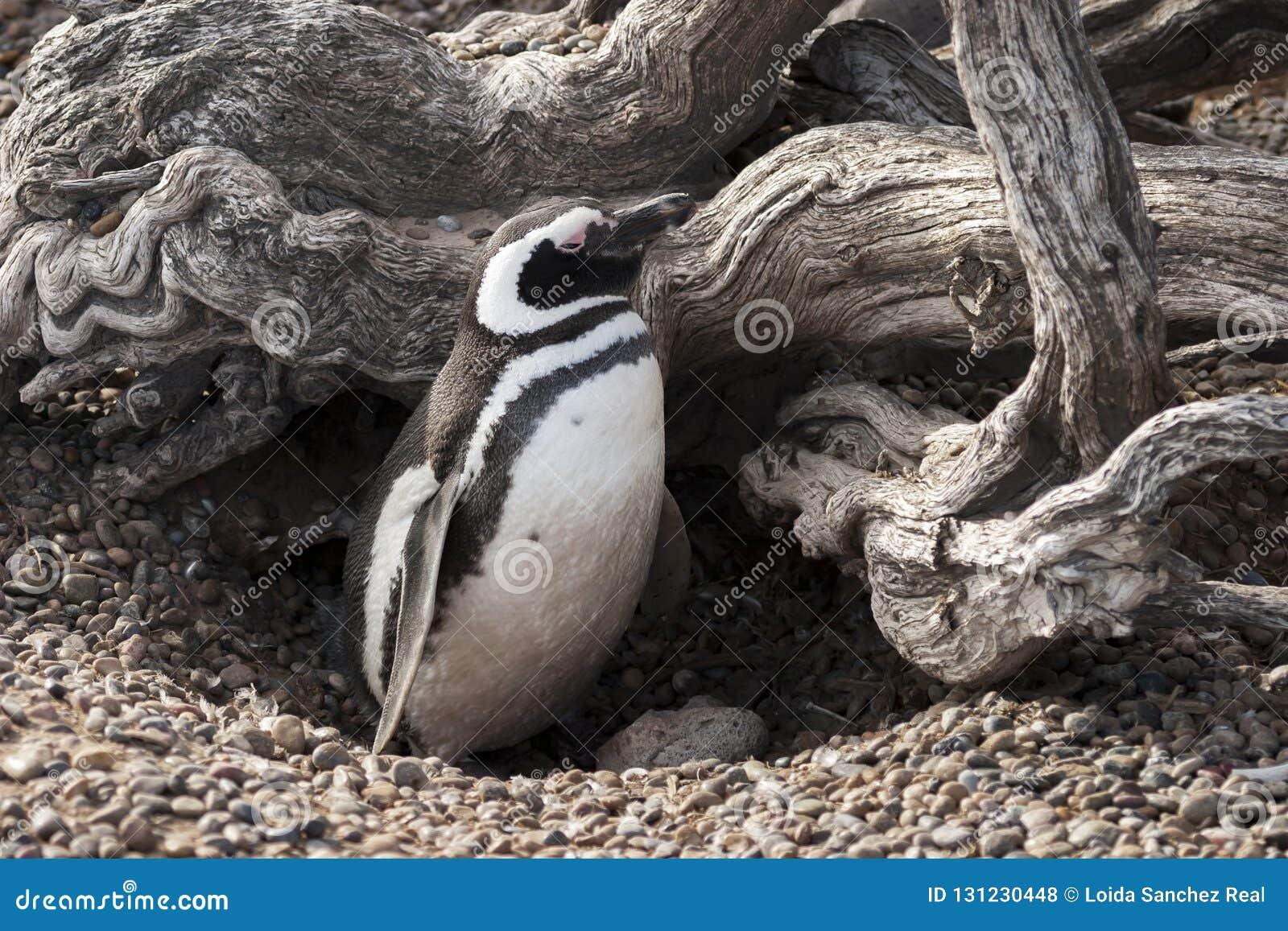 Pinguim de Magellanic em seu ninho protegido