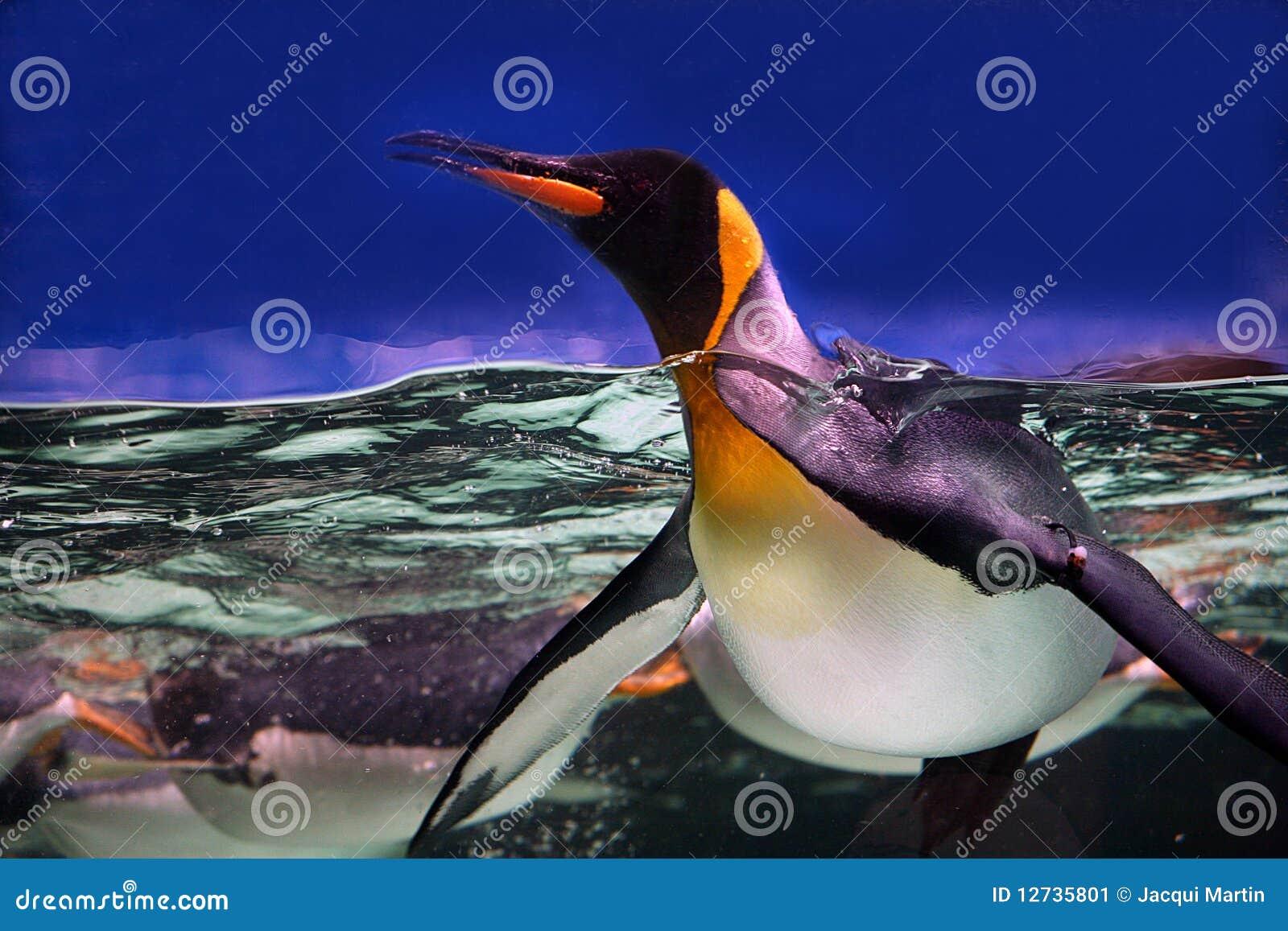 Pinguim de rei