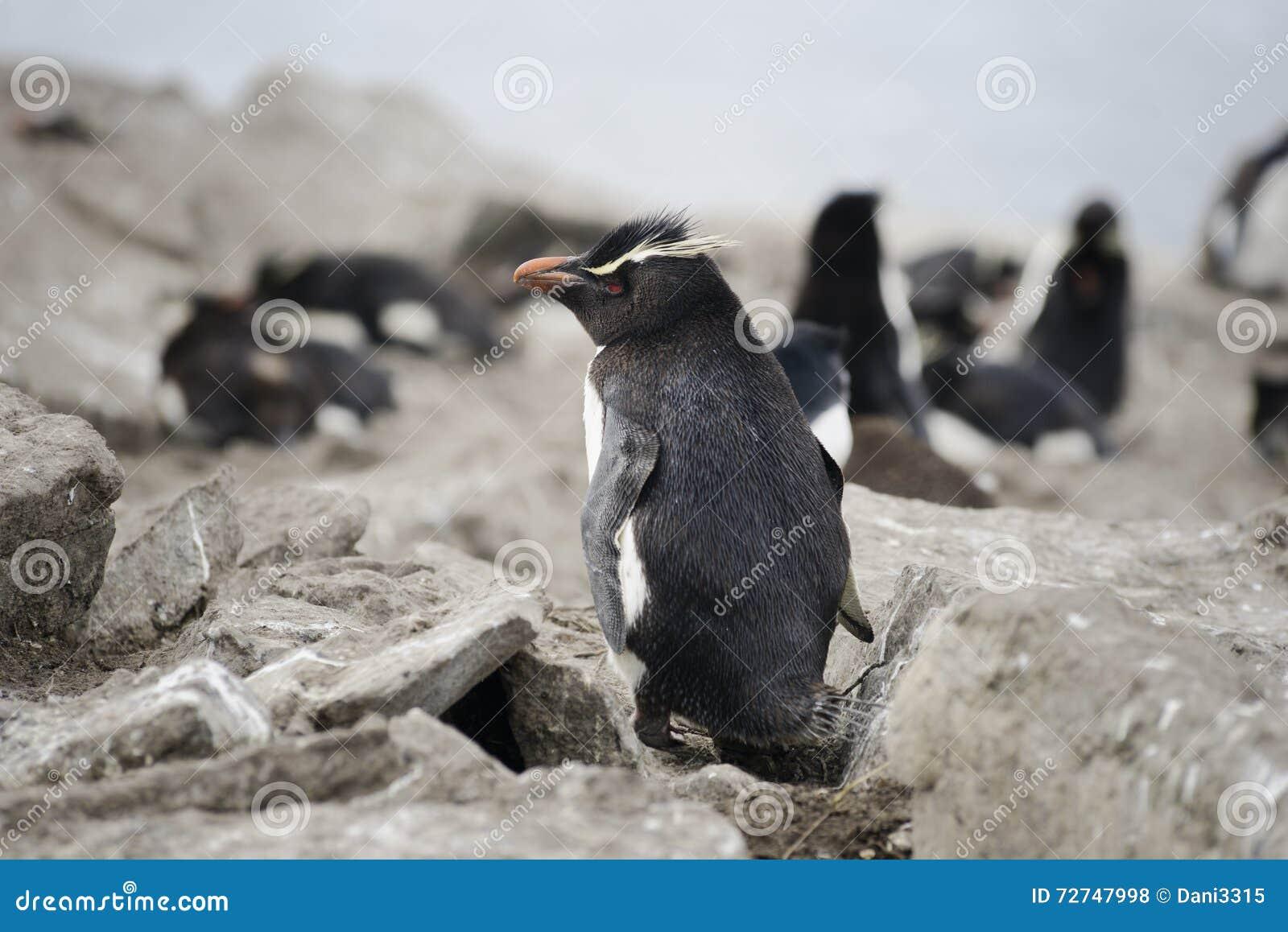 Pinguim de Rockhopper (chrysocome) do Eudyptes, Falkland Islands