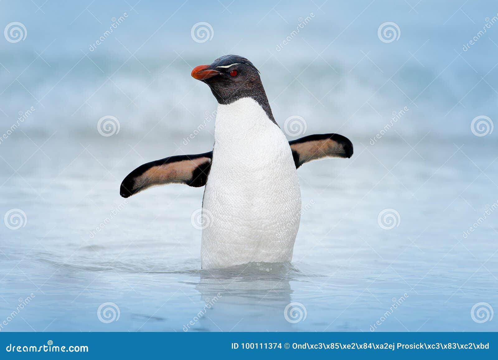 Pinguim de Rockhopper, chrysocome do Eudyptes, nadando na água, voo acima das ondas Pássaro de mar preto e branco, mar Lion Islan