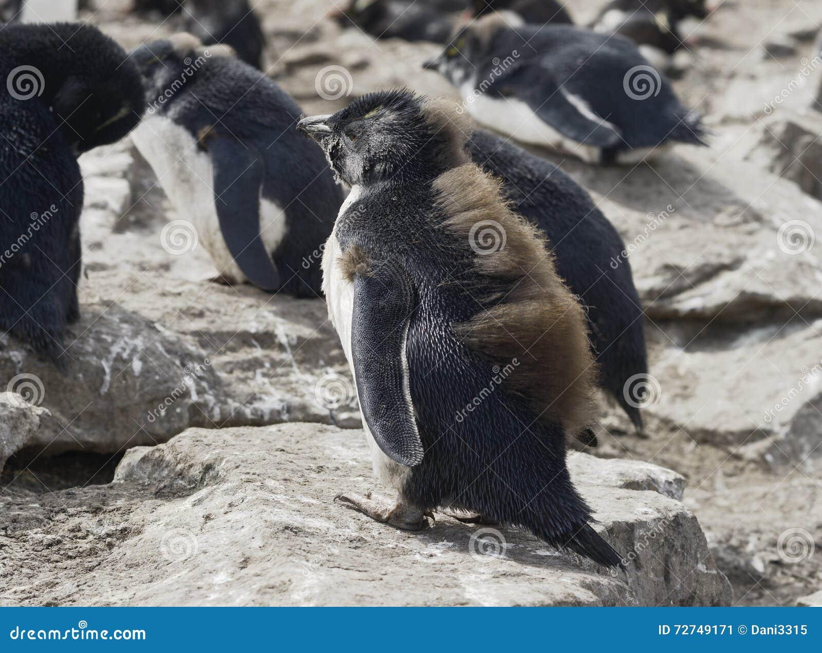 Pinguim de Rockhopper do bebê, Falkland Islands
