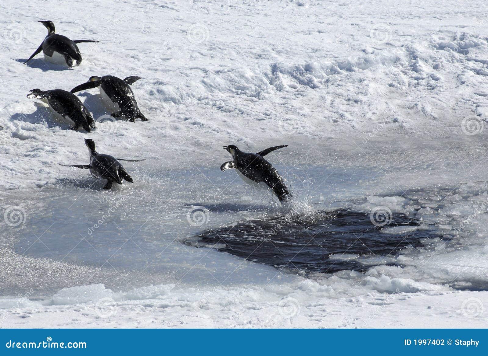 Pinguim de salto