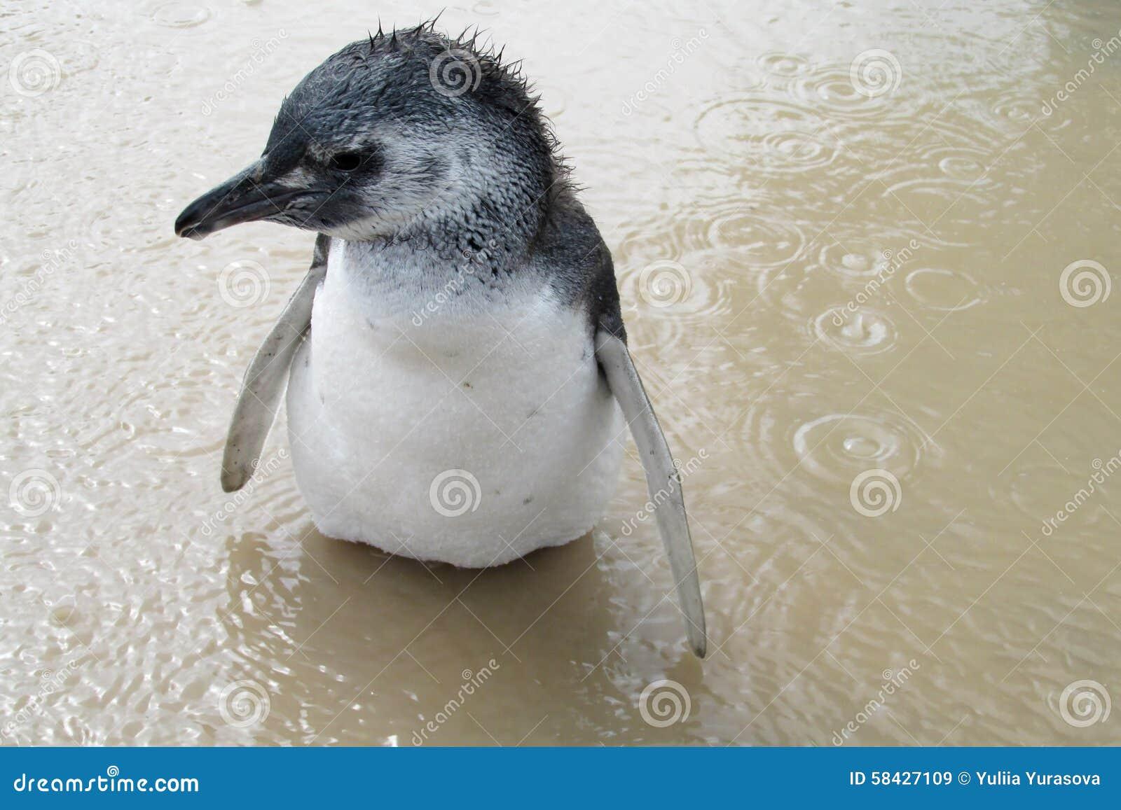 Pinguim magellanic do bebê molhado na água