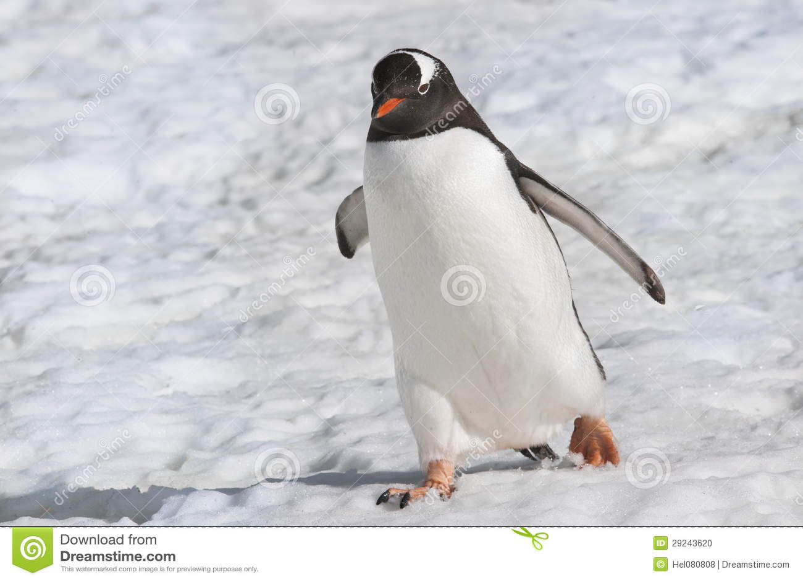 Download Pinguim - Pinguim De Gentoo Foto de Stock - Imagem de waddling, animal: 29243620