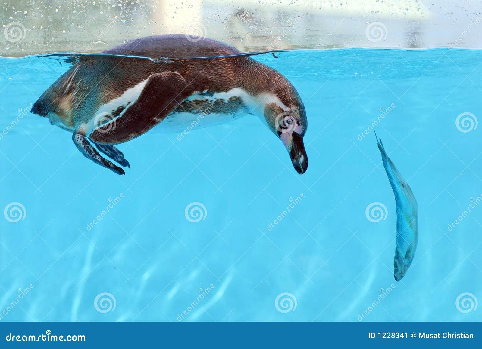 Pinguin und Fische