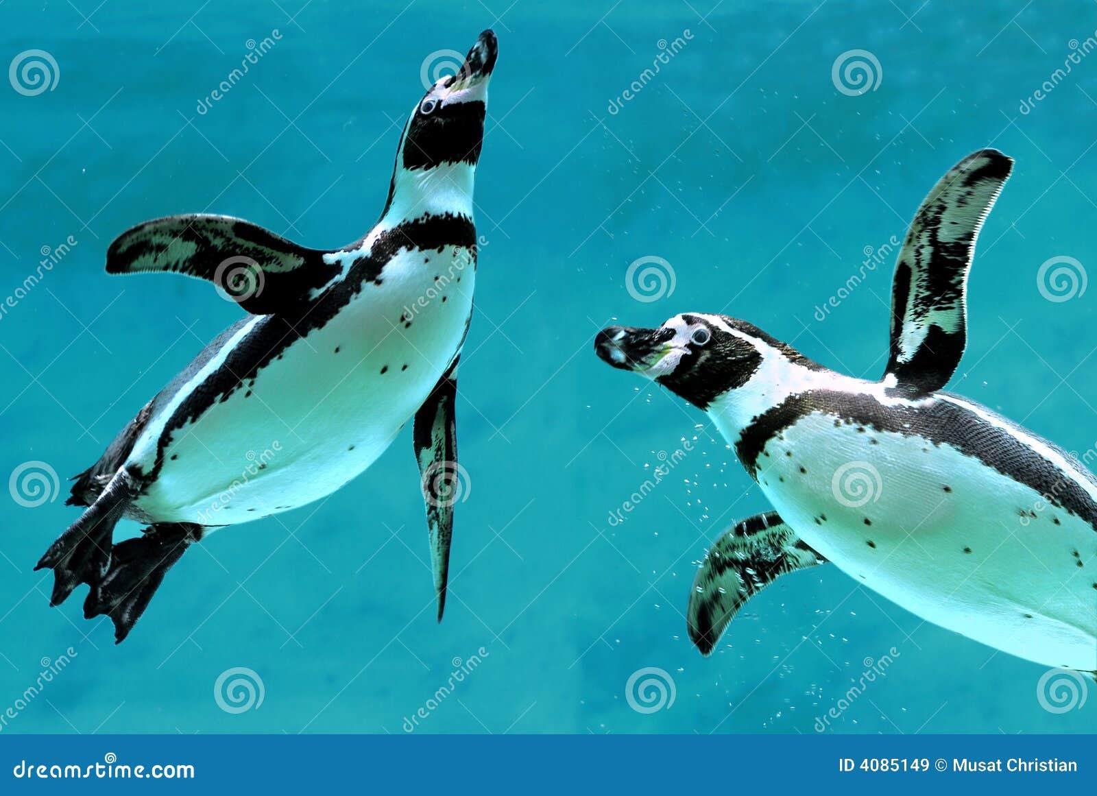 Pinguine unter Wasser
