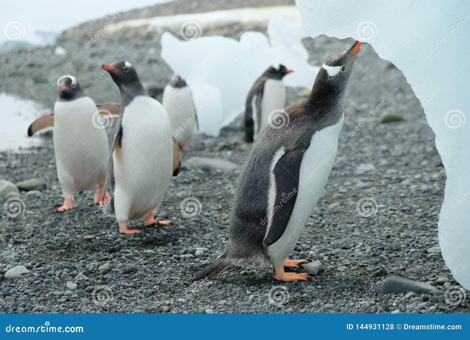 Pinguini dell Antartide Gentoo che bevono acqua dolce dall iceberg di fusione