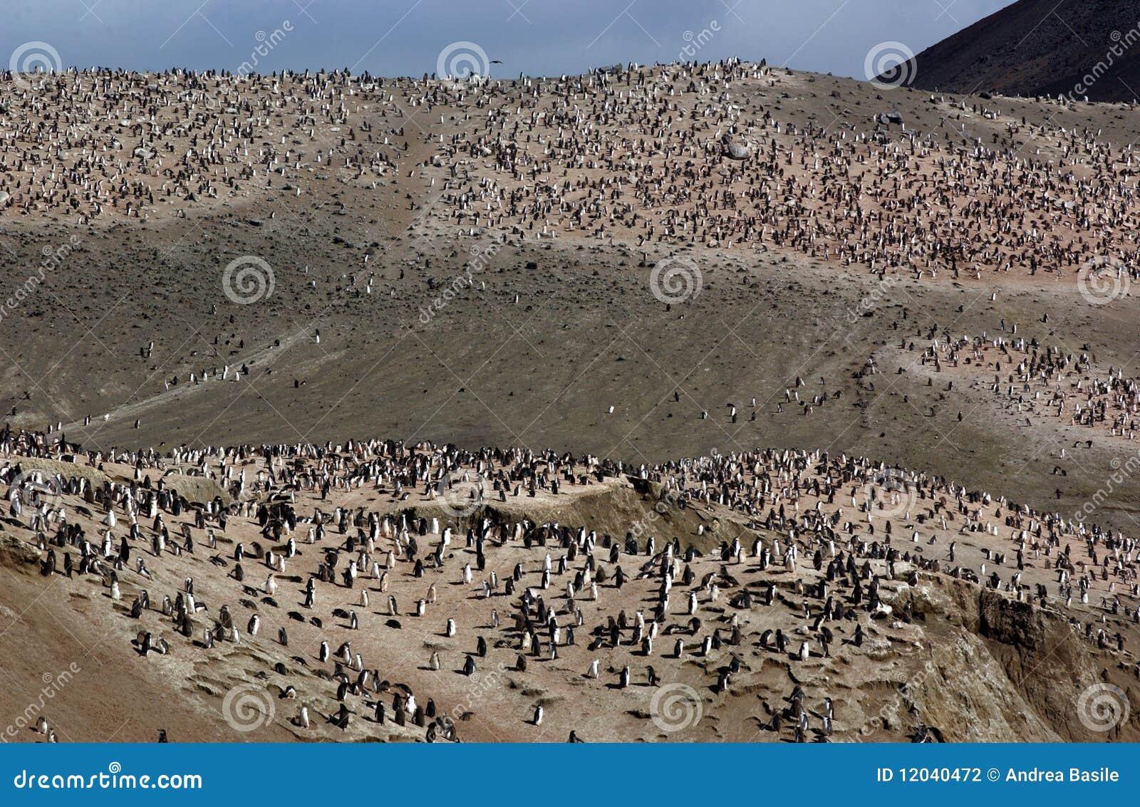 Pinguini di Chinstrap