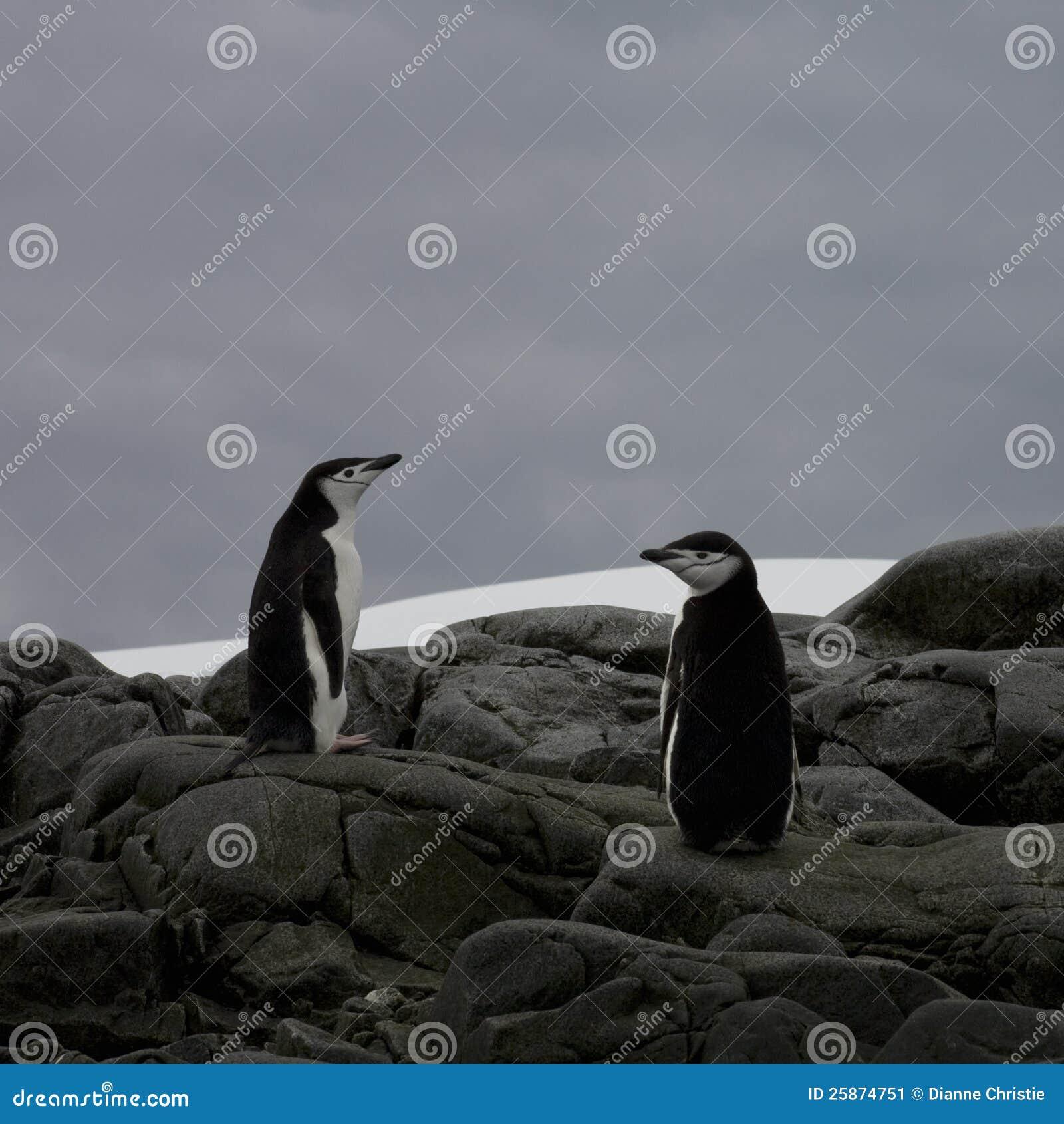Pinguini di Chinstrap, Antartide.