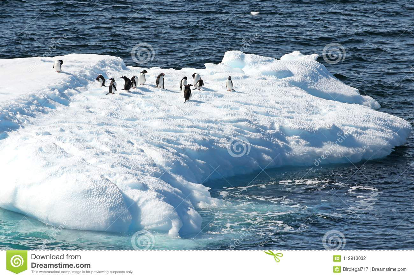 Pinguini di Gentoo che stanno su un iceberg Ghiaccio blu di fusione che galleggia nell oceano antartico Paesaggio dell Antartide
