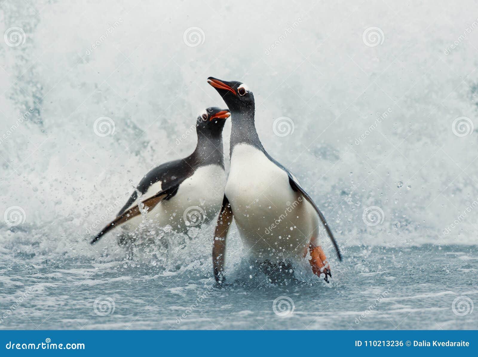 Pinguini di Gentoo che vengono sulla riva dall Oceano Atlantico tempestoso