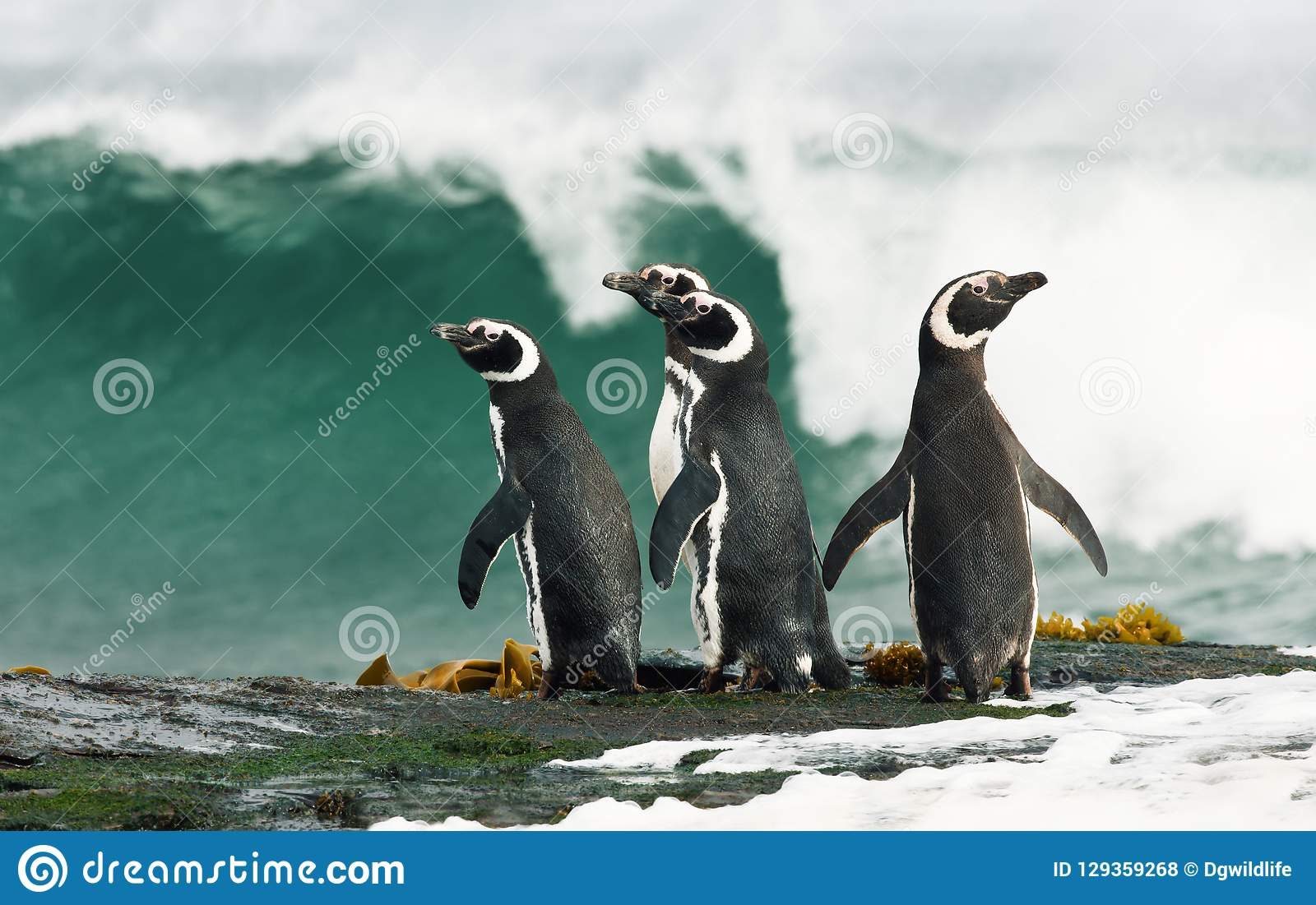 Pinguini di Magellanic che fanno una pausa l oceano tempestoso