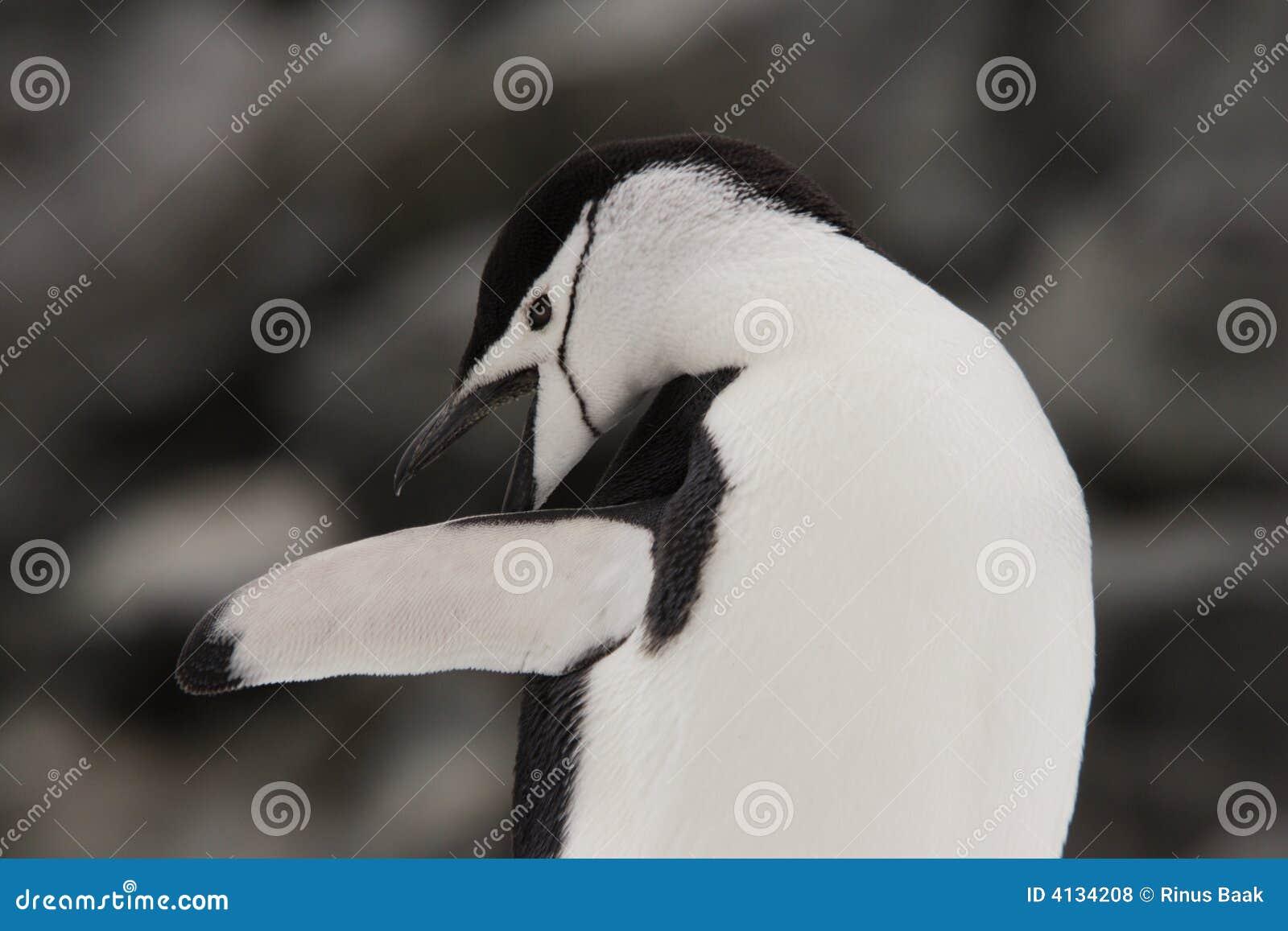 Pinguino Antartide di Chinstrap