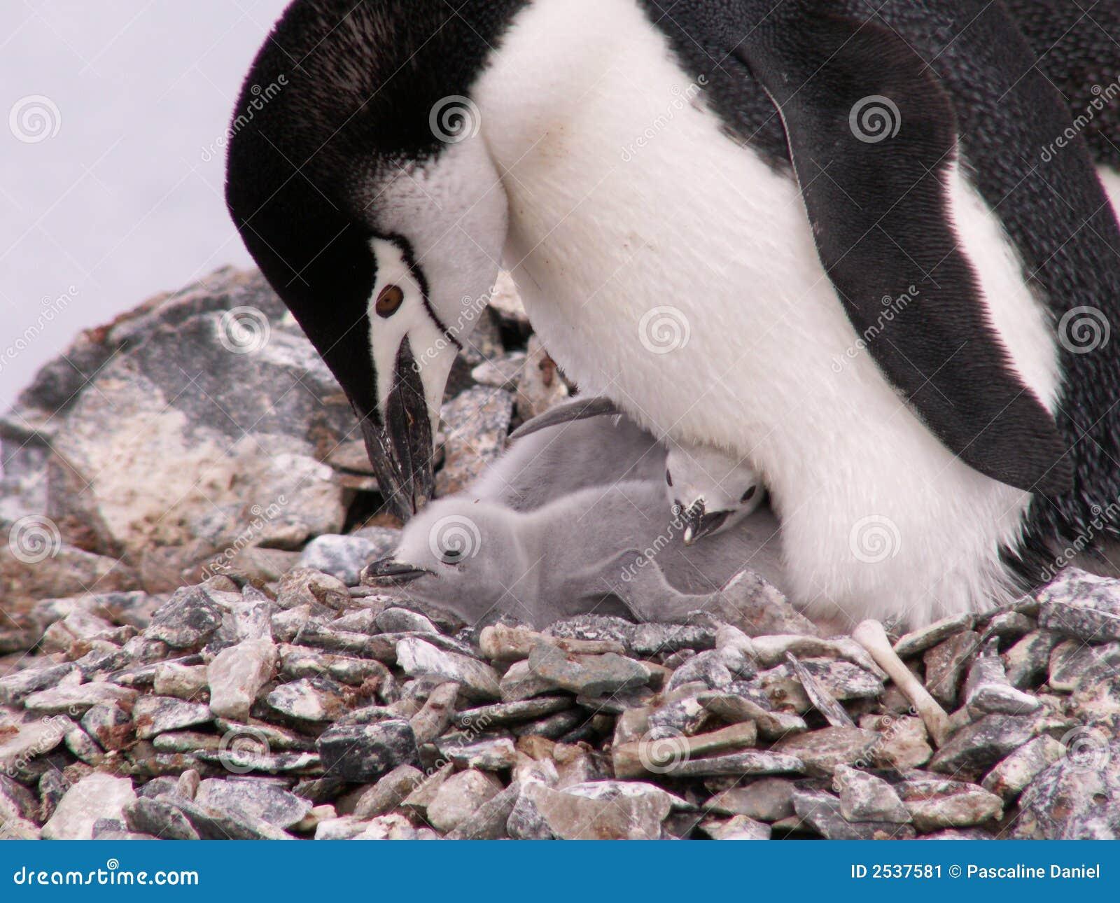 Pinguino con due pulcini