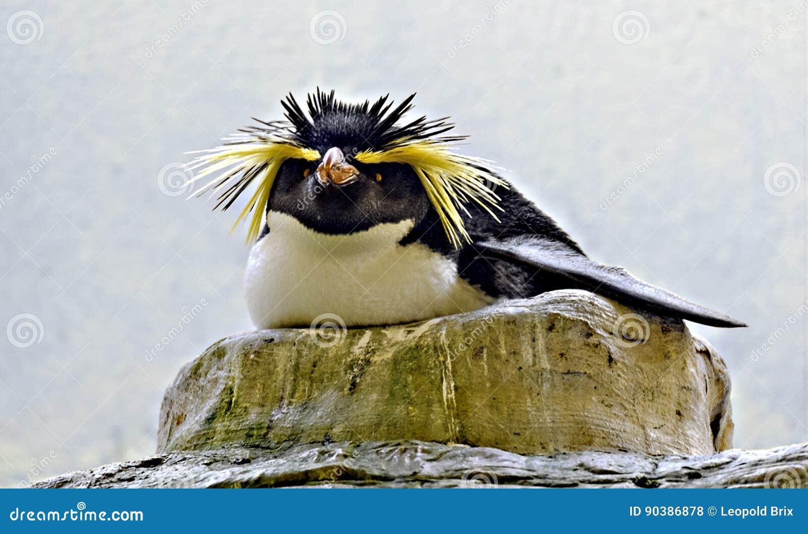 Pinguino del roccia-saltatore di allevamento