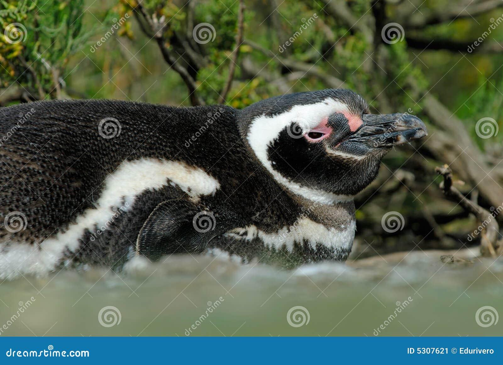 Download Pinguino Di Magellanic Che Riposa Nel Patagonia Immagine Stock - Immagine di patagonia, south: 5307621