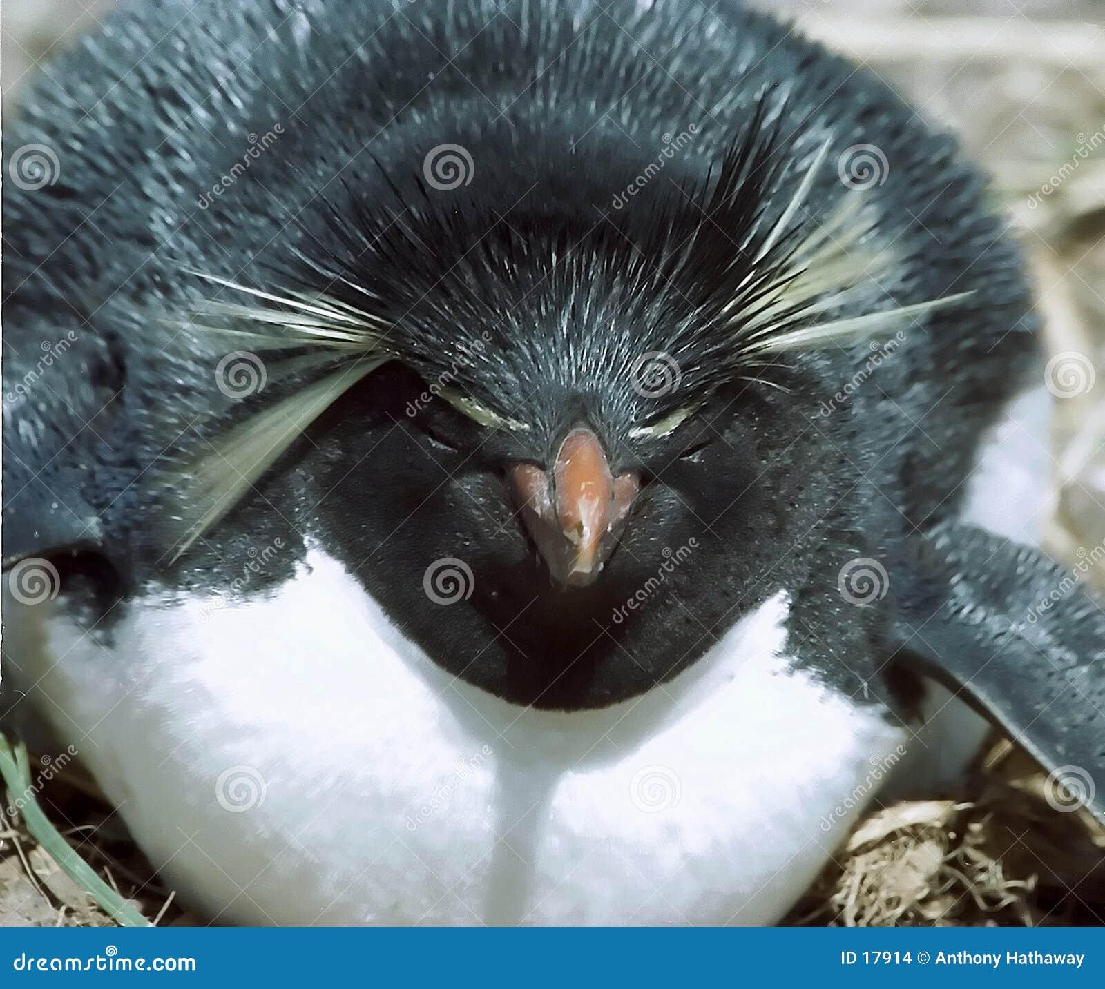 Pinguino di Rockhopper