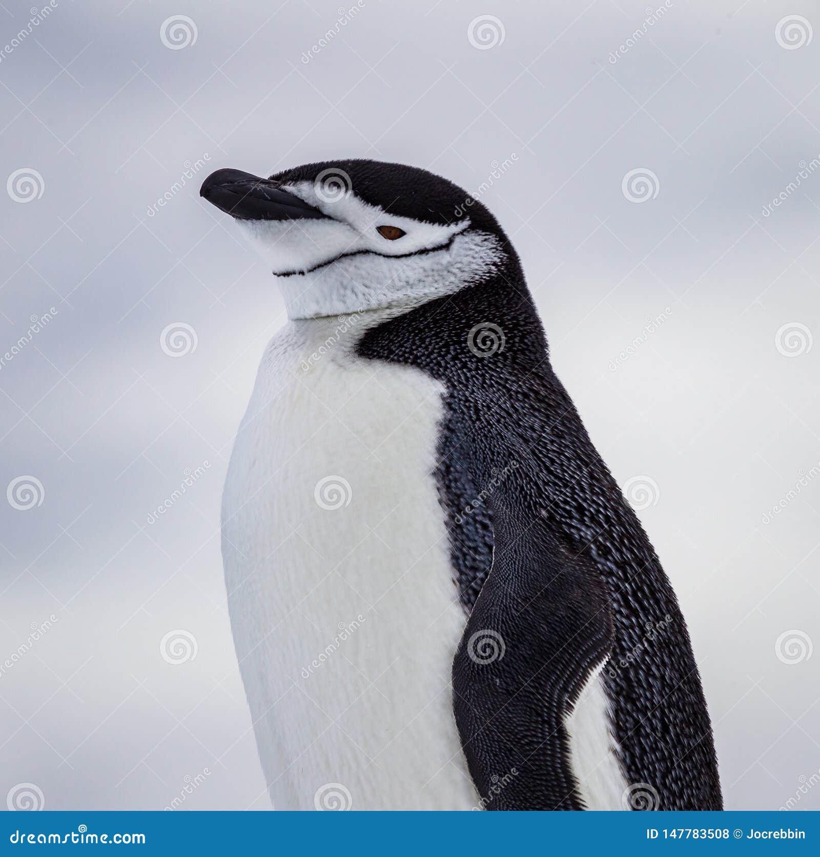 Pinguino di sottogola con le marcature ovvie del mento dell Antartide