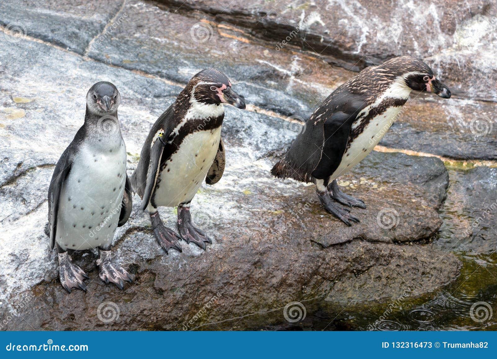 Pinguins curiosos de Humboldt