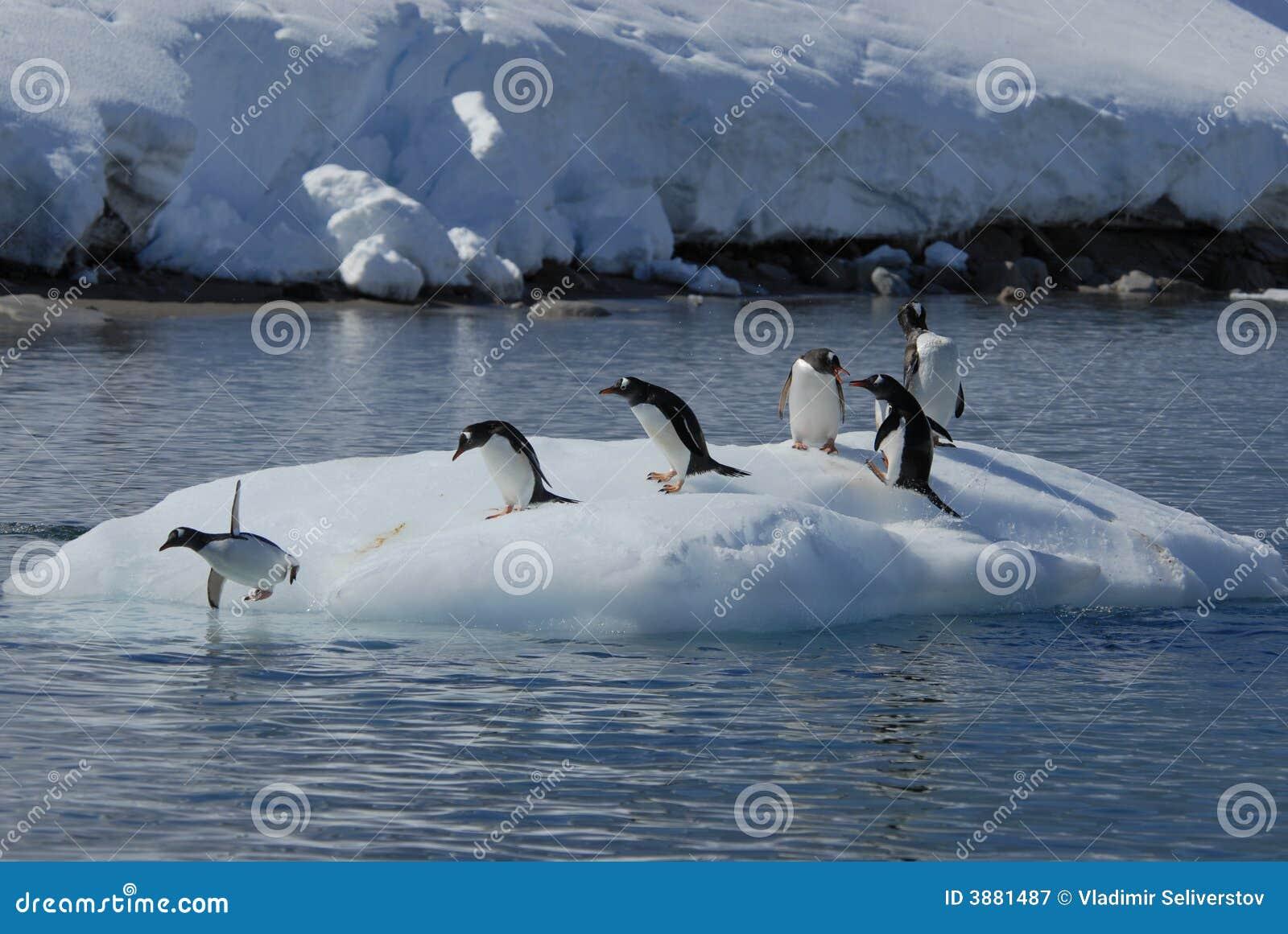 Pinguins de Gentoo