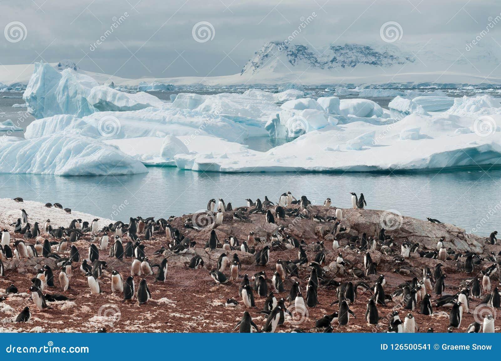 Pinguins de Gentoo do assentamento, ilha de Cuverville, península antártica