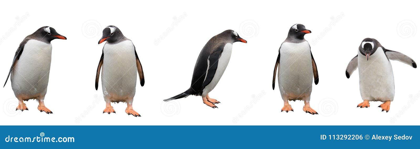 Pinguins de Gentoo isolados no branco