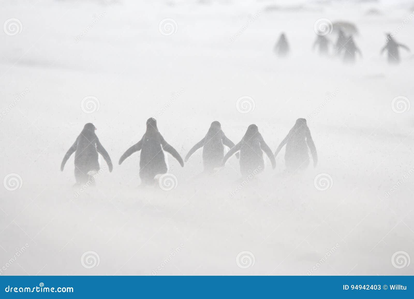 Pinguins de Gentoo que marcham através da neve de sopro