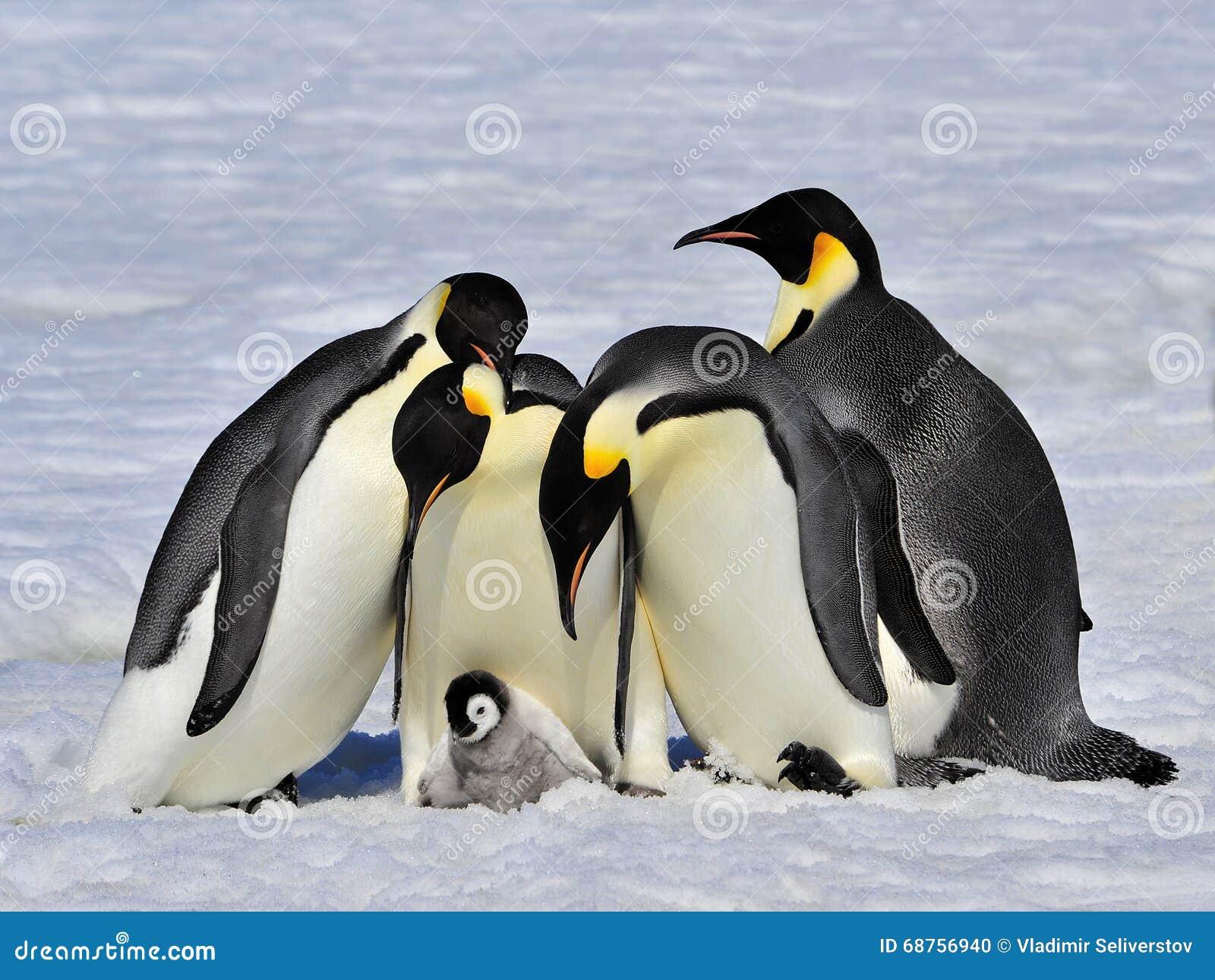 Pinguins de imperador com pintainho