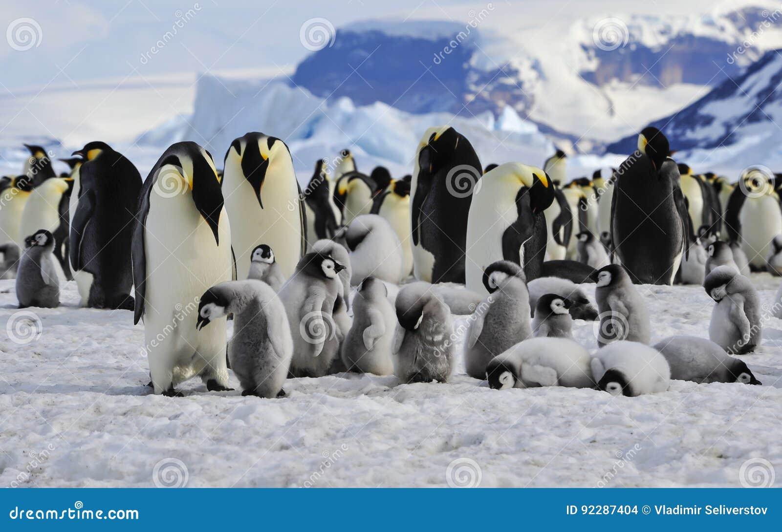 Pinguins de imperador com pintainhos