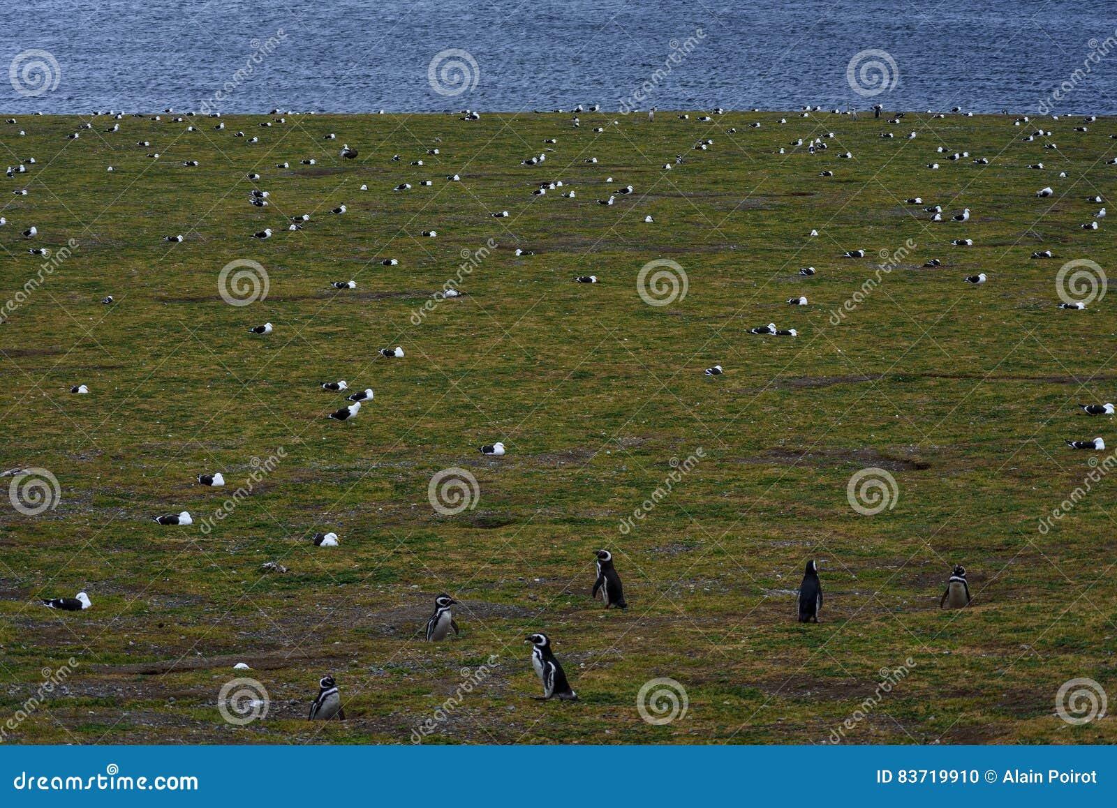 Pinguins de Magellanic, Magdalena Island, o Chile