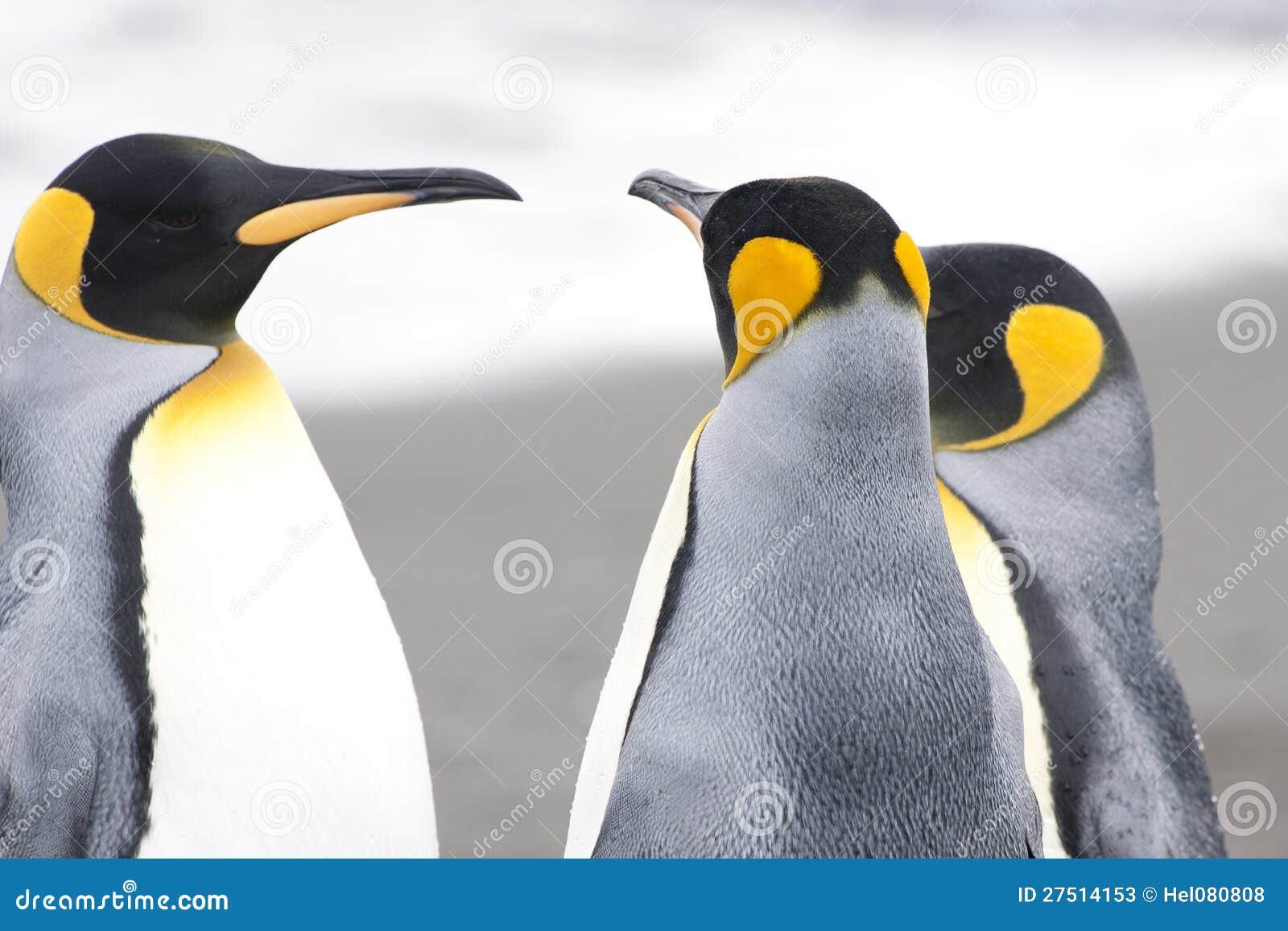 Pinguins de rei na praia de Geogia sul