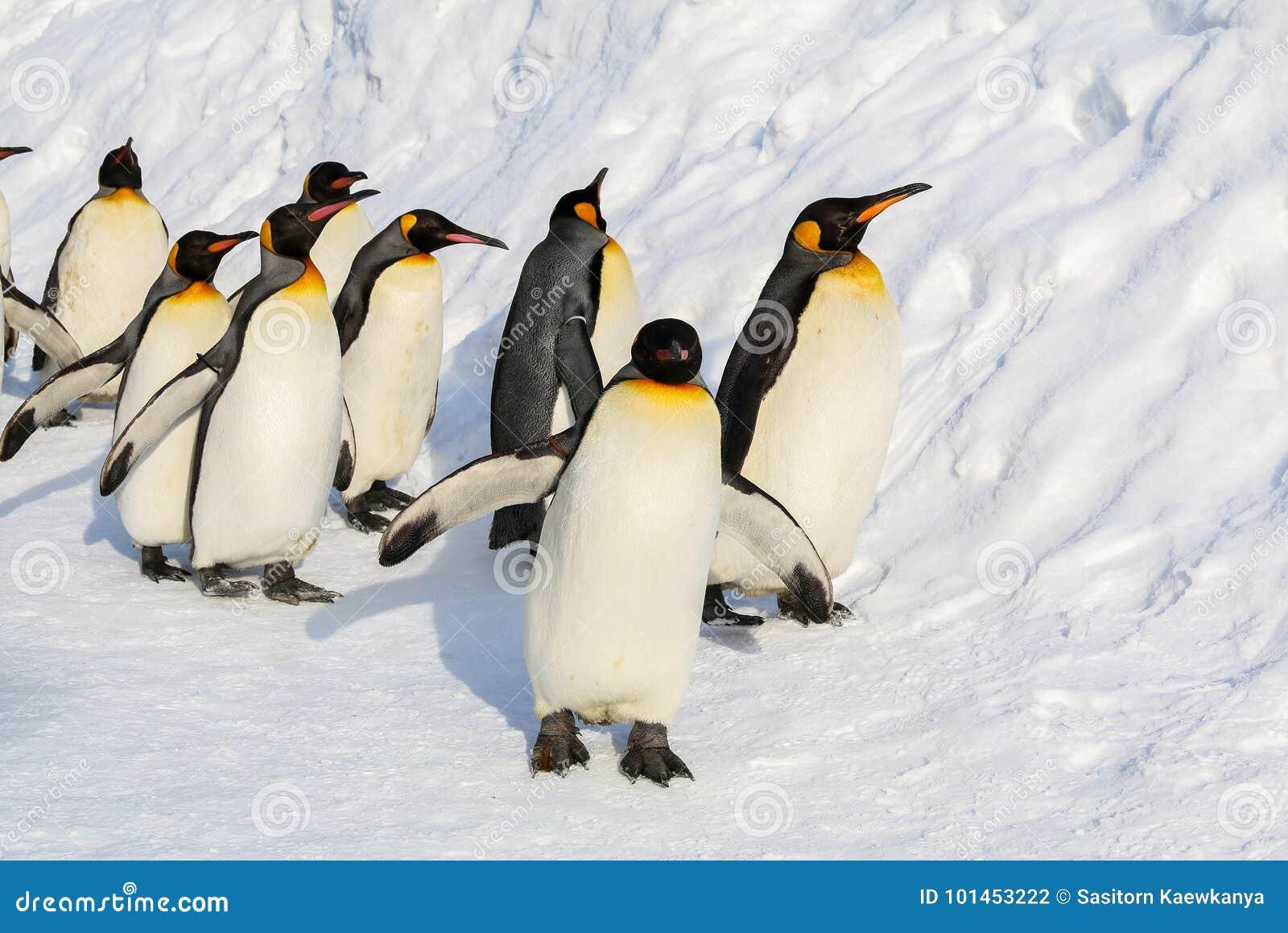 Pinguins de rei que andam na neve