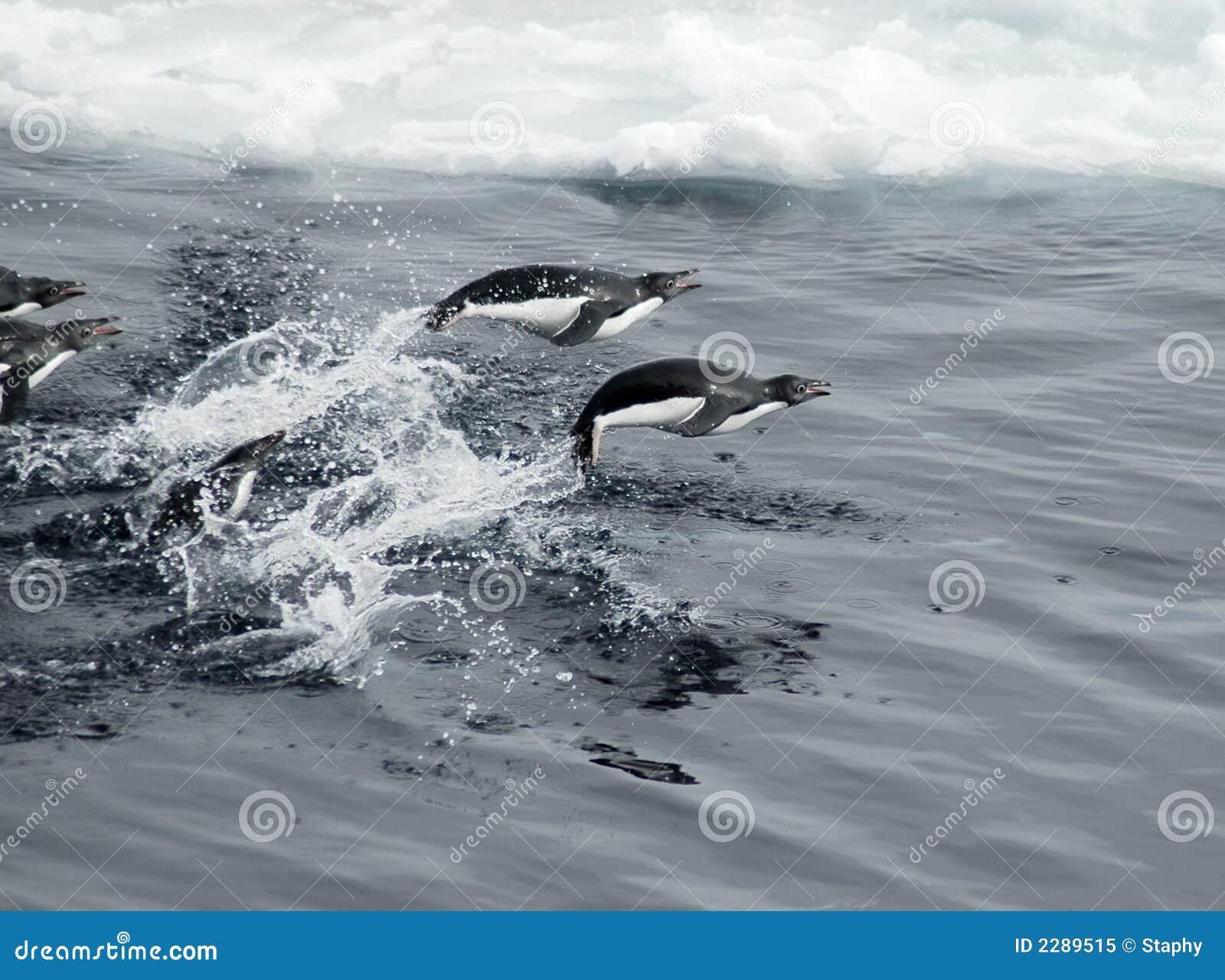 Pinguins de salto