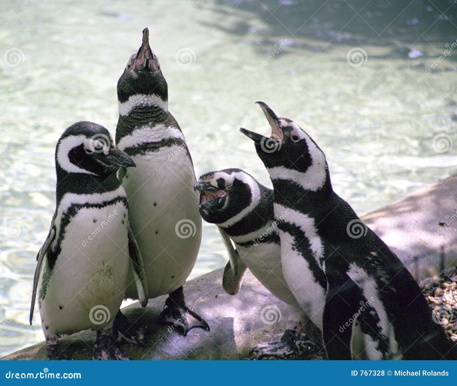 Pinguins do canto