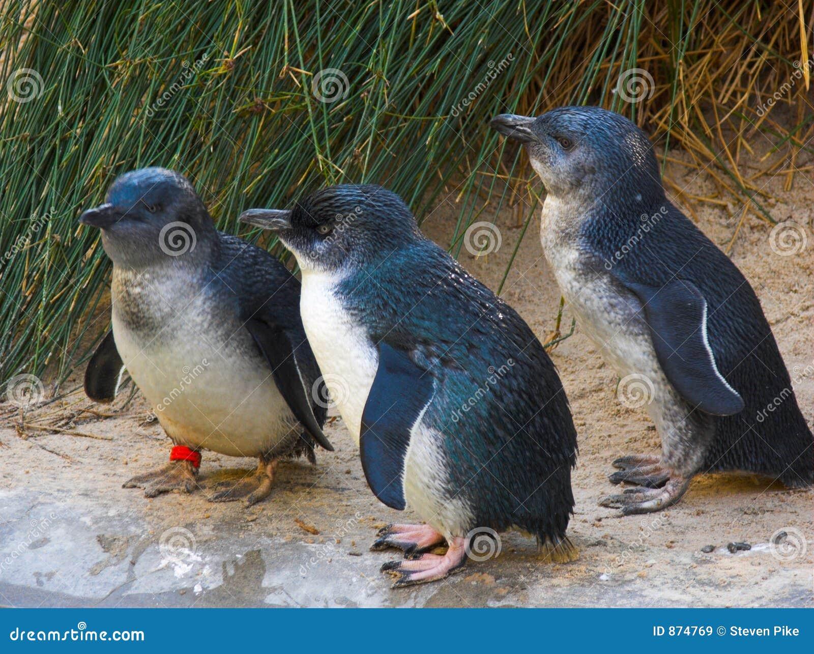 Pinguins feericamente