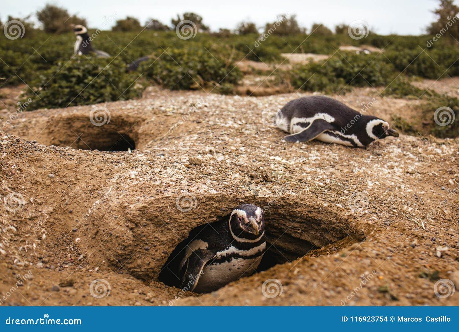 Pinguins na península de valdes Argentina do Patagonia, pinguim de Magellanic