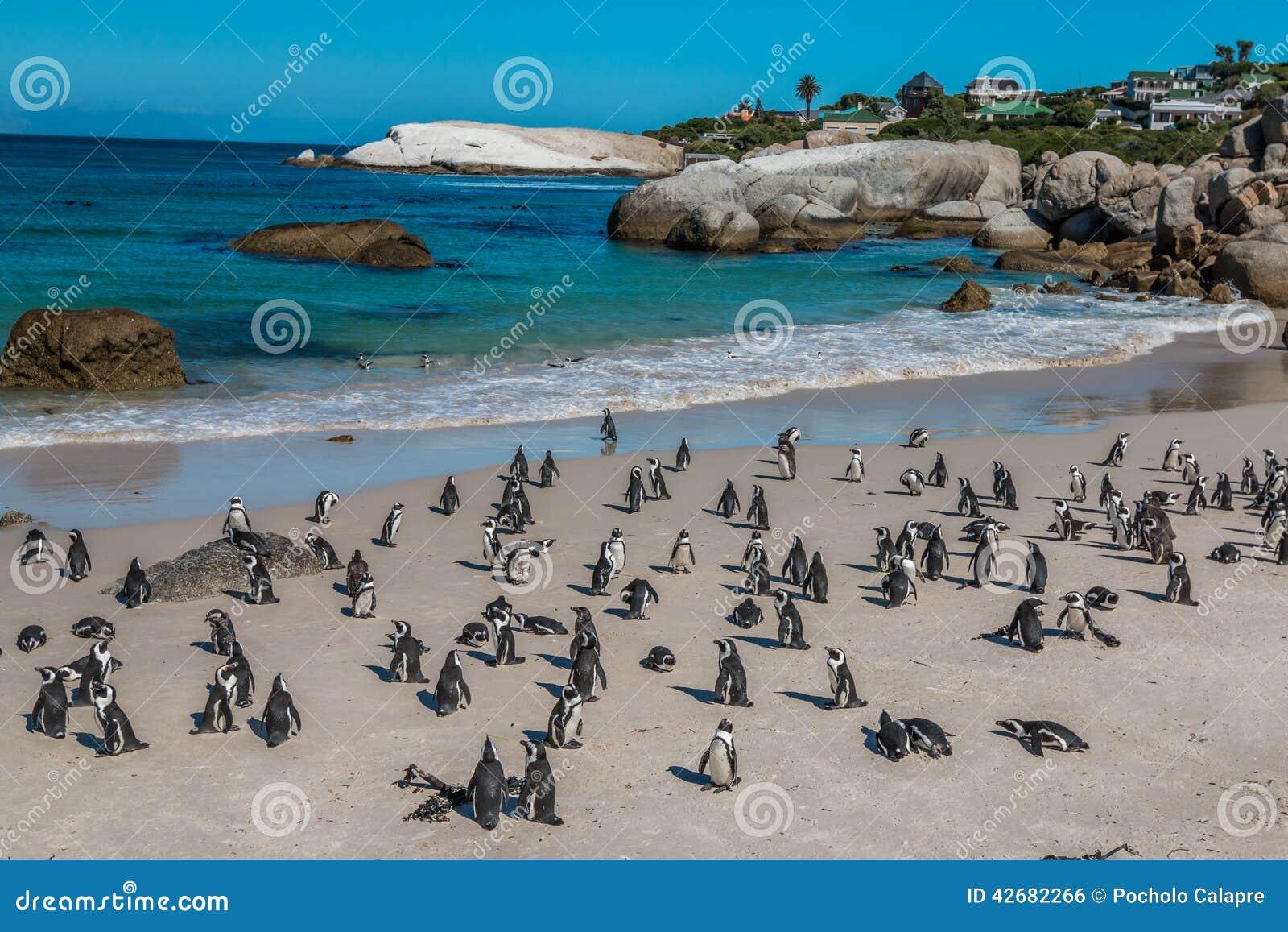 Pinguins na praia África do Sul dos pedregulhos