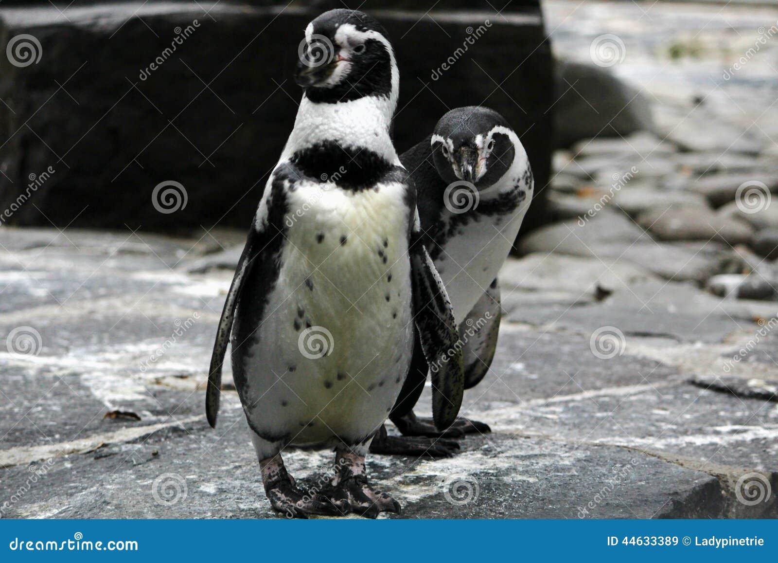 Pinguins no jardim zoológico