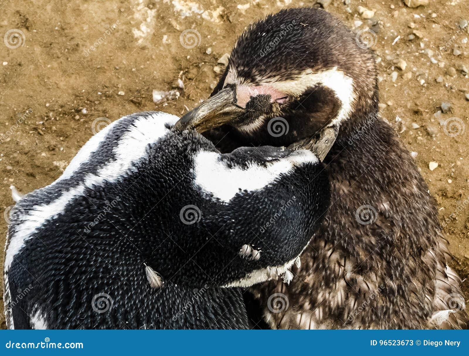 Pinguins no Patagonia - o Chile