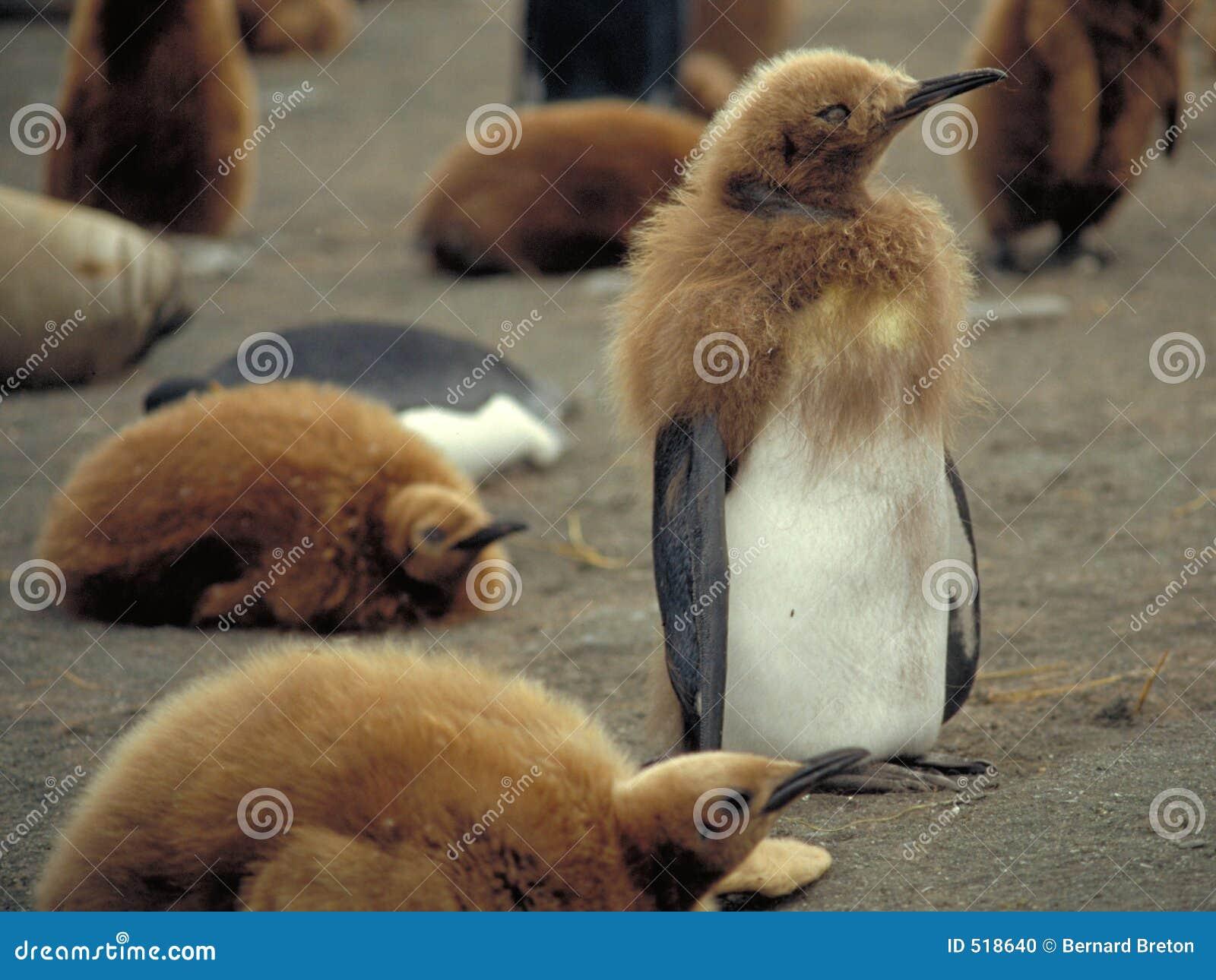 Pingvinbarn