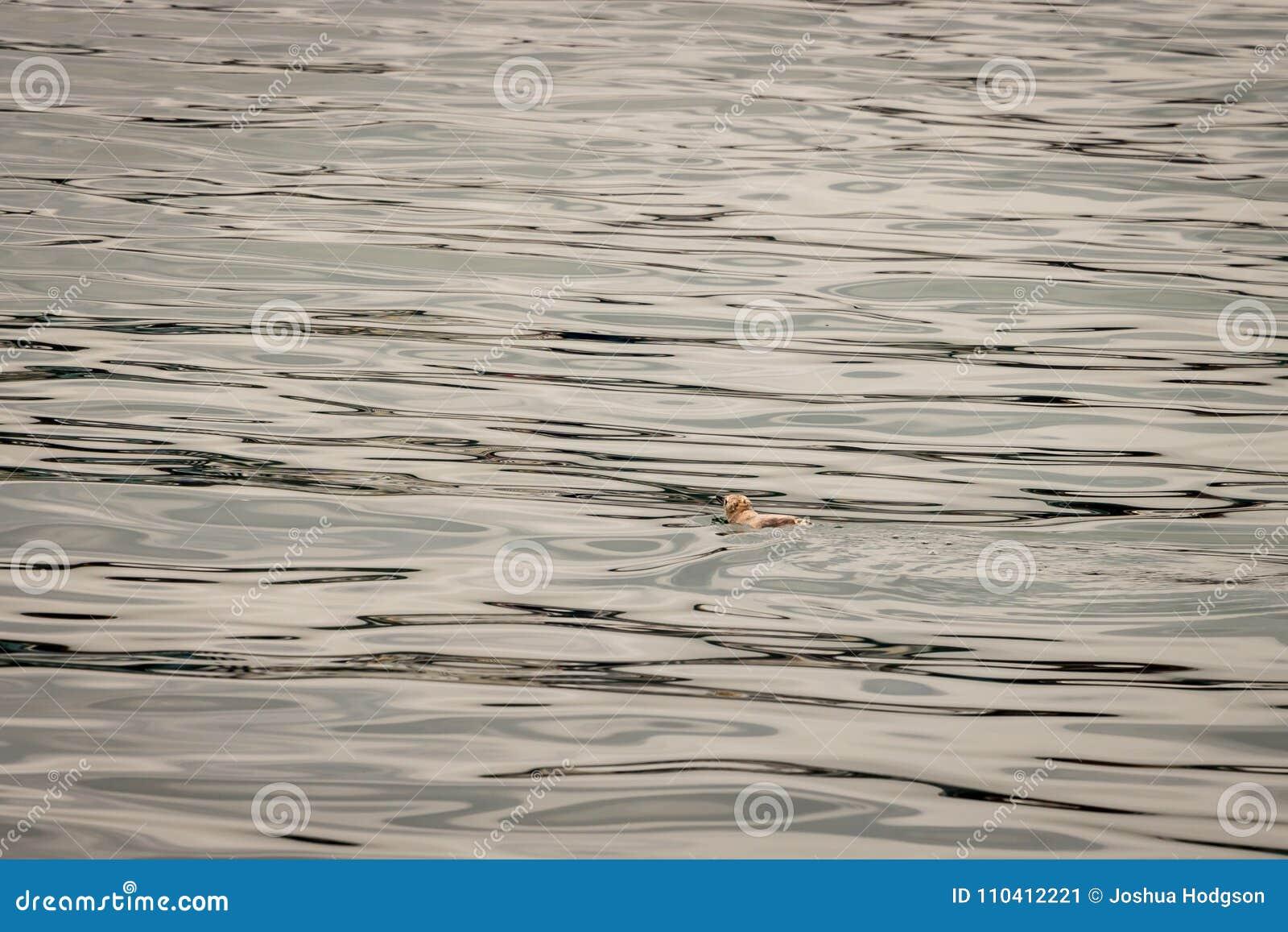 Pingvinet simmar bort på det lugna havet med utrymme för den negativa kopian