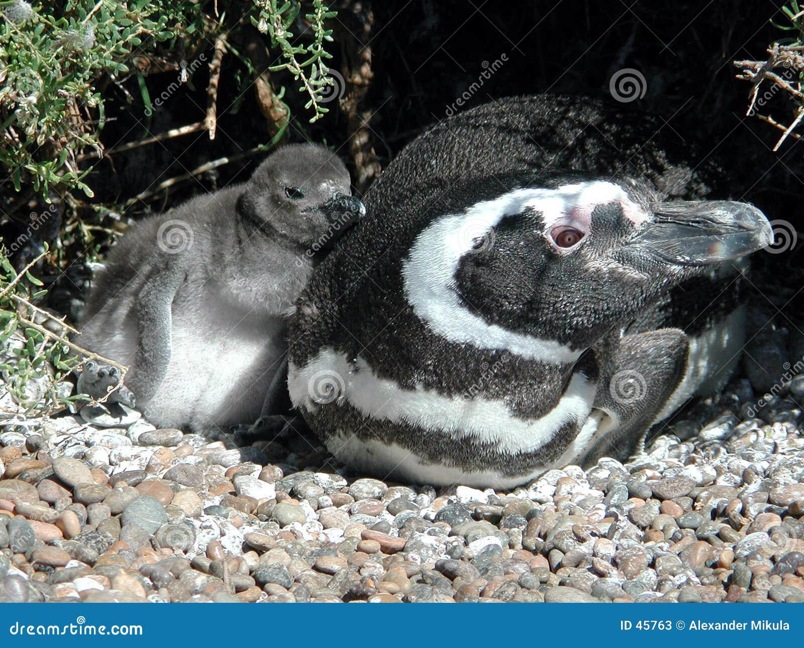 Pingwin laska