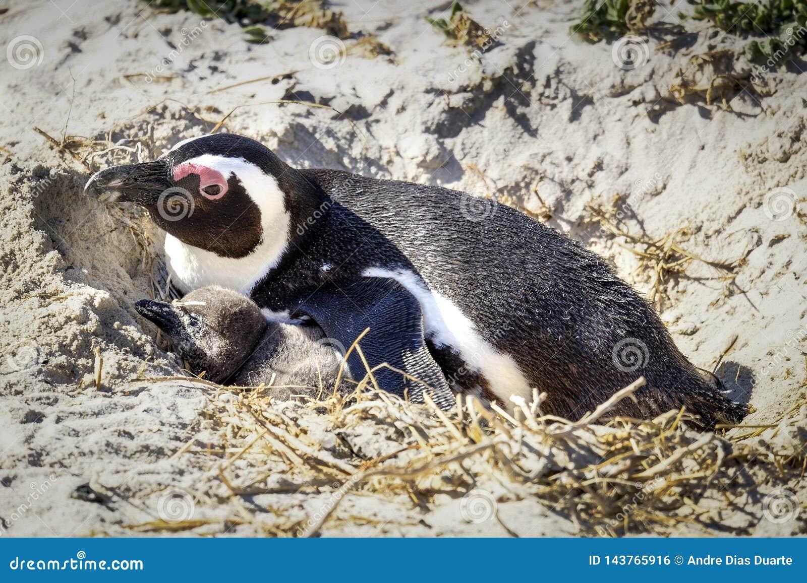 Pingwin odpoczywa w jego gniazdeczku z kurczątkiem