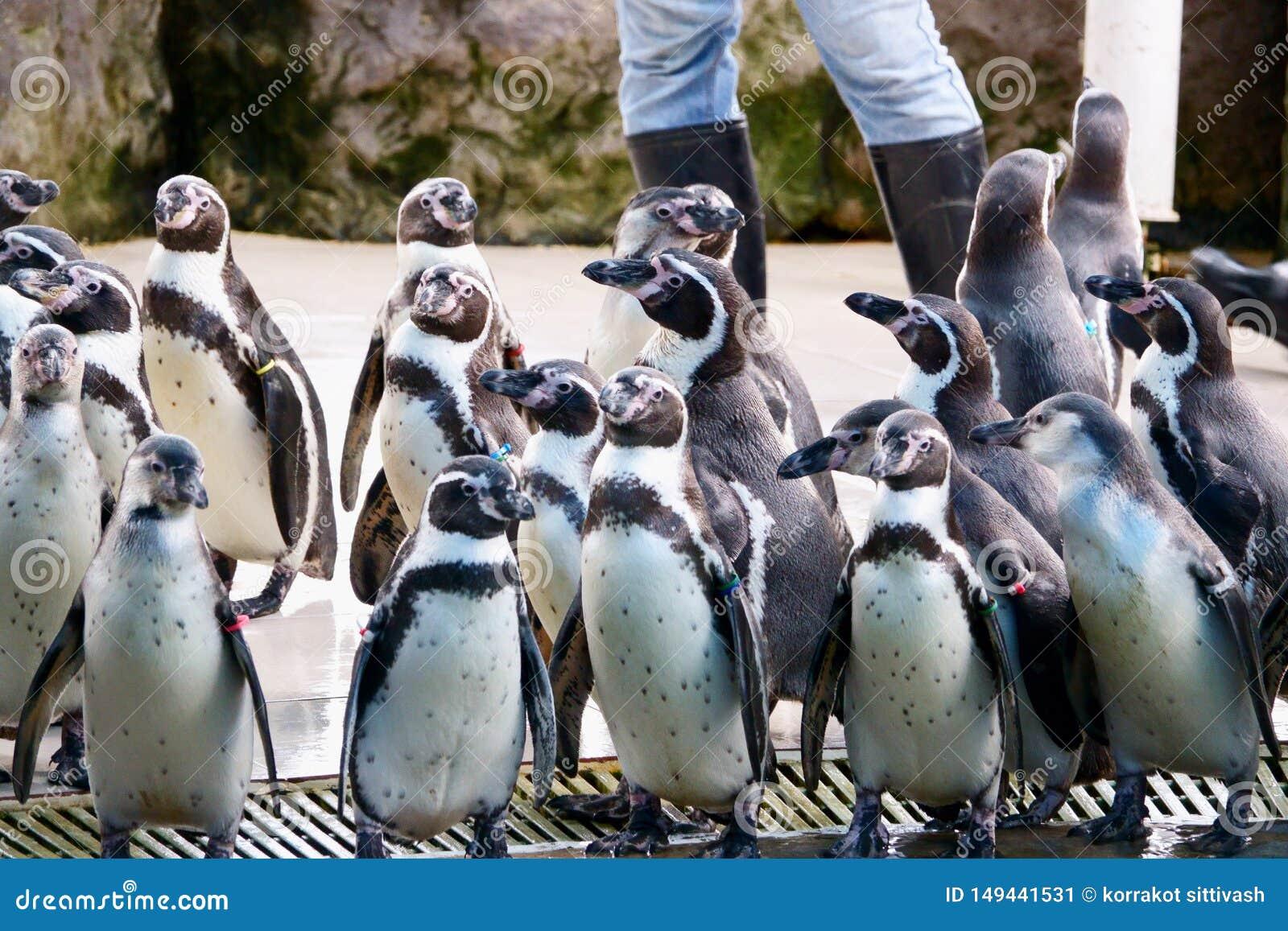 Pingwin przy Khao Kheow Otwartym zoo, Pattaya Tajlandia