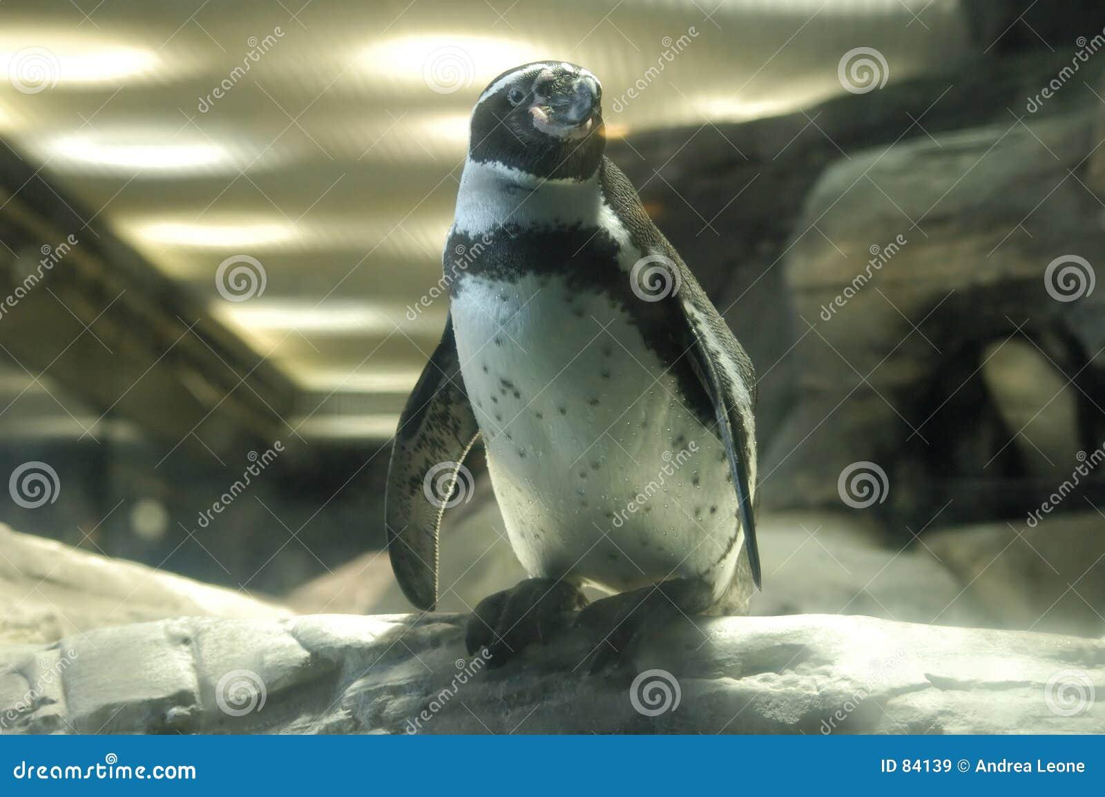Pingwin stanowisko
