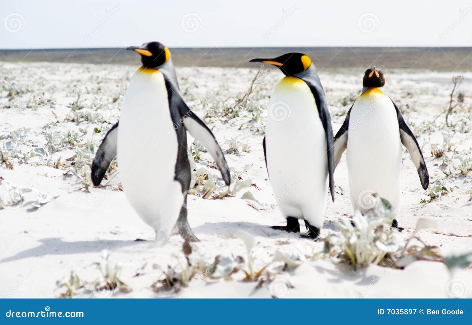 Pingwinu przespacerowanie