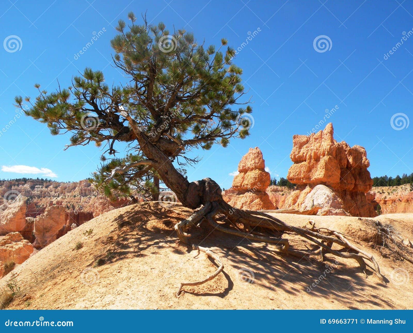 Pinheiro do deserto