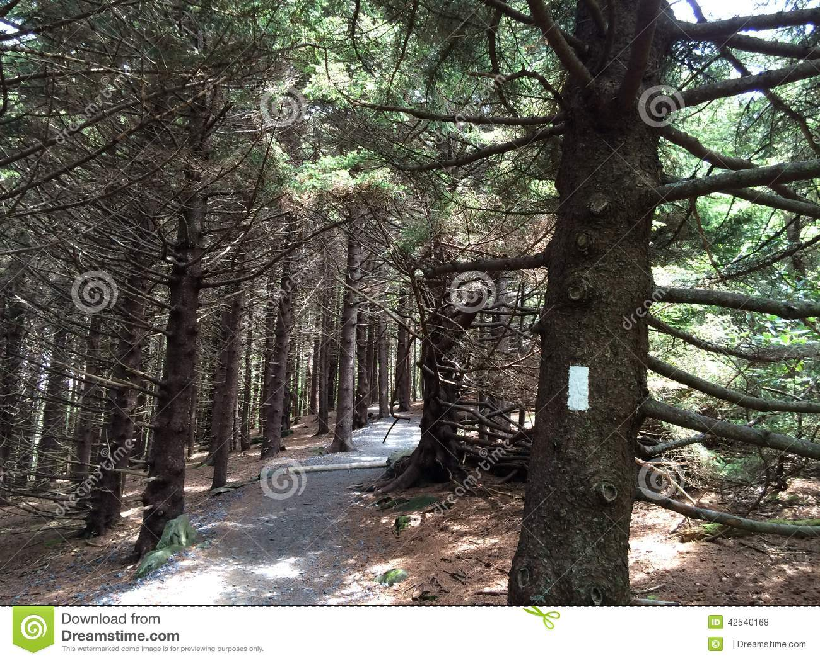 Pinheiro Forest On The Appalachian Trail