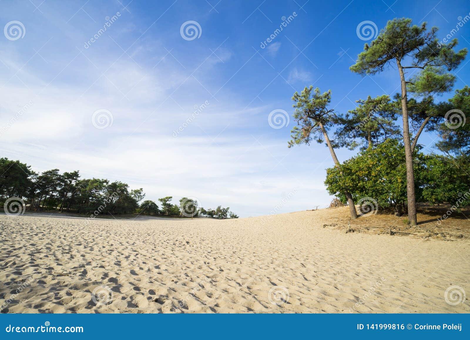 Pinheiros e trajeto da areia no parque nacional Loonse e Drunense Duinen, os Países Baixos