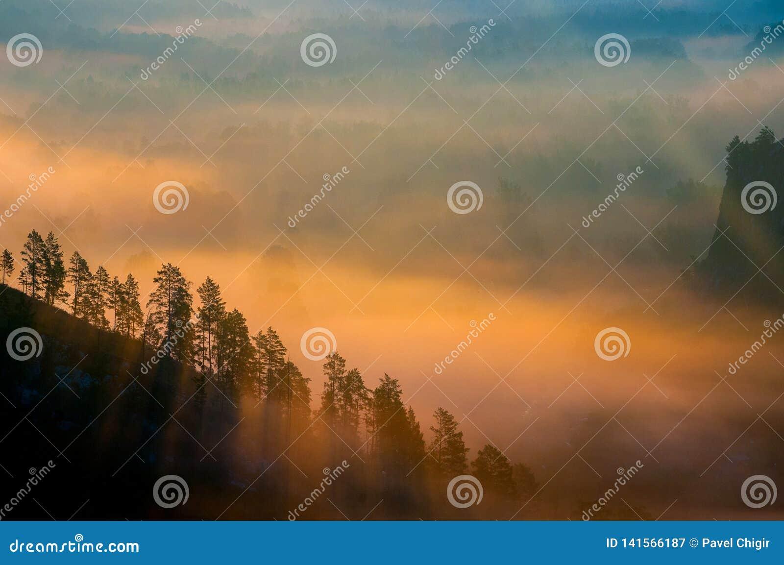 Pinhos encobertos nas névoas nos raios do alvorecer